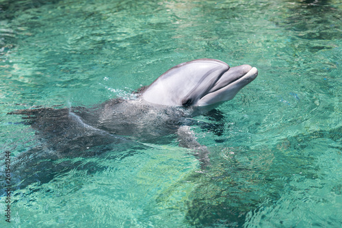 Canvas Prints Dolphin swimming dolphin in the israel city eilat