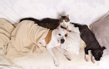 American Staffordshire Terrier, Her  Puppy And Grey Cat Sleeping Together