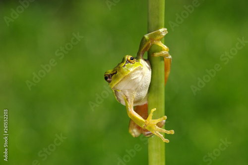 Frog on green background Canvas Print