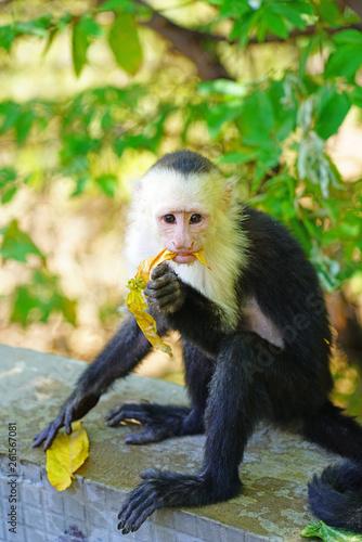 Photo A white-headed capuchin monkey (cebus capucinus) by the pool in Peninsula Papaga