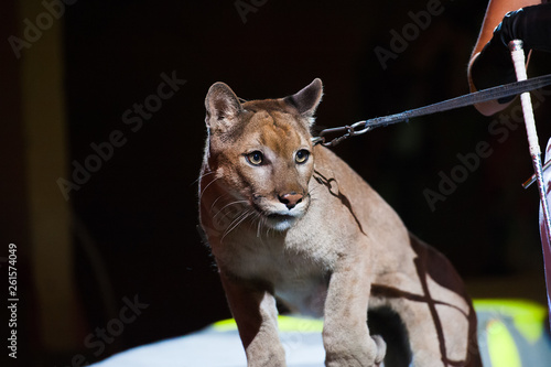 Photo  Puma performs in the circus