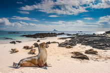 Ecuador. The Galapagos Islands. Seals Are Sleeping On The Beach. Beaches Of The Galapagos Islands. Pacific Ocean. Seals In Ecuador. Animals Of The Galapagos Islands.  Island Of Bartolome