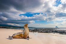 Ecuador. The Galapagos Islands. Seals Are Sleeping On The Beach. Beaches Of The Galapagos Islands. Pacific Ocean. Seals In Ecuador. Animals Of The Galapagos Islands.  Island Of Bartolome