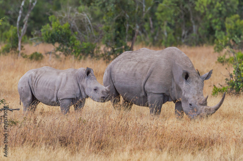 In de dag Neushoorn Ceratotherium Simum rhino mother calf pair oxpecker in ear Kenya East Africa