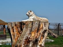 Relaks Białego Tygrysa.