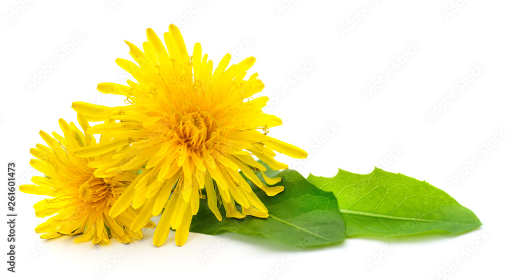 Fototapety, obrazy: Two dandelions with leaves.