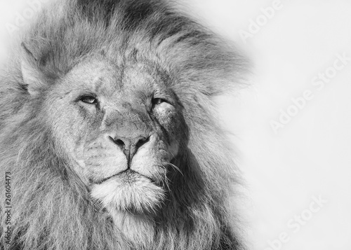 In de dag Leeuw Black and white portrait of a male lion