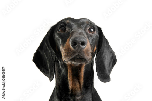 Foto op Aluminium Crazy dog An adorable black and tan short haired Dachshund looking up curiously
