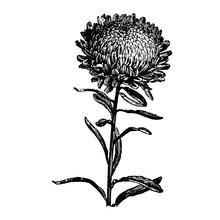 Engraving Aster Flower Vintage...