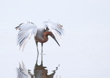 Reddish Egret Canopy Feeding In The Shallows