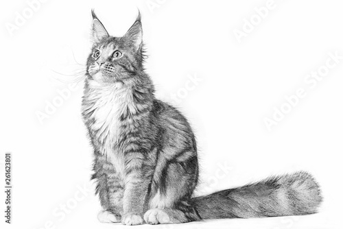 Obraz na plátně  Drawing of a big maine coon cat sitting in studio on white background