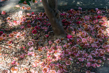 Fallen Camellia Flowers Under ...