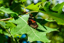 Red Admiral (Vanessa Atalanta) Butterfly On The Leaf Of Oak Tree