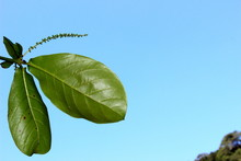 Branch View With Leaves Of A Chestnut Tree Composing With Blue Sky, In The Interior Of Caraguatatuba, Sao Paulo, Brazil.