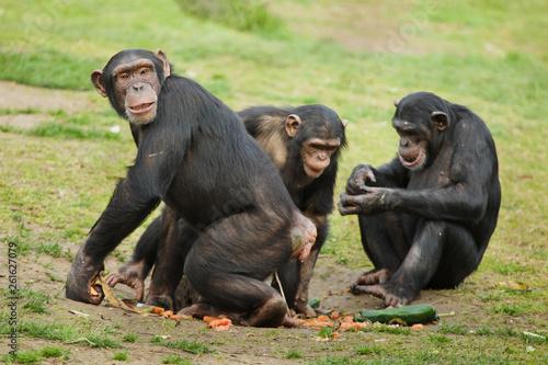 Canvastavla Common chimpanzee (Pan troglodytes)