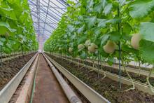 マスクメロンの温室栽培
