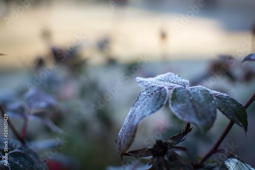 Fotografie, Obraz  Frost on green leaves