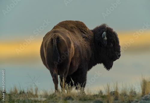 Fotografie, Obraz  Bison Bull