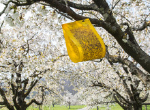 Yellow Sticky Cherry Fruit Fly Trap Hanging On Cherry Blooming Tree To Prevent Pests