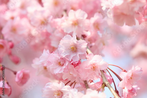 Leinwand Poster Cherry blossoms in full bloom in Yamanashi - Japan spring -