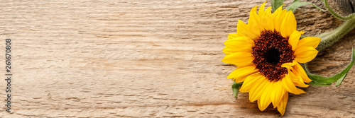 Single sunflower on wooden background