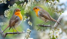 Red Robin (Erithacus Rubecula) Birds Close Up In The Spring Garden