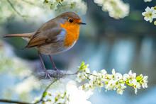 Red Robin (Erithacus Rubecula)...