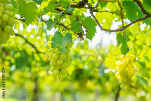 Garden Poster Vineyard bunch of white grapes growing in vineyard