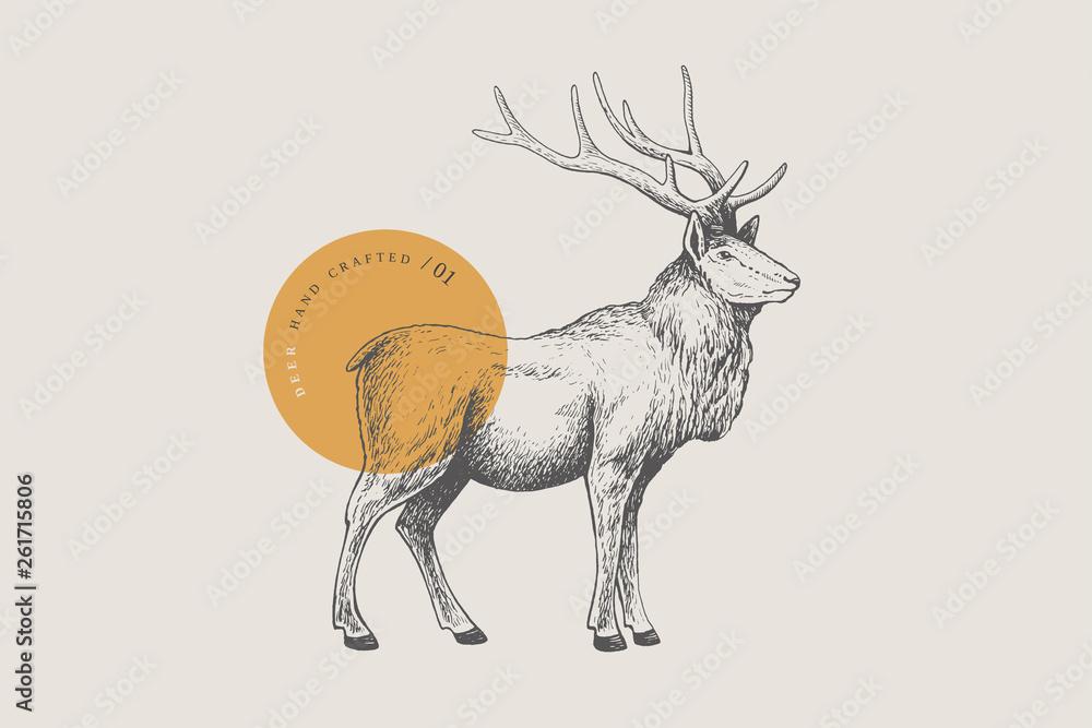 Fototapeta Hand drawing of a forest deer on a light background. Deer-Izyubr in vintage engraving style. Vector retro illustration.