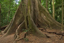 Giant Ceiba Tree At La Ceiba T...