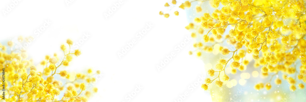 Fototapeta spring composition with Mimosa flowers. Mimosa on white background, concept of spring season. symbol of 8 March, happy women's day. copy space. long banner