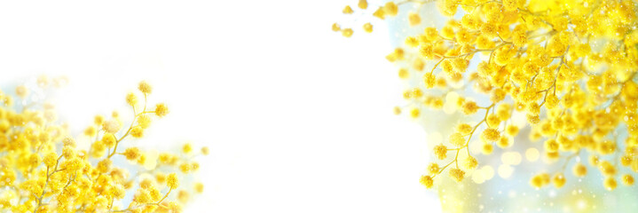 spring composition with Mimosa flowers. Mimosa on white background, concept of spring season. symbol of 8 March, happy women's day. copy space. long banner