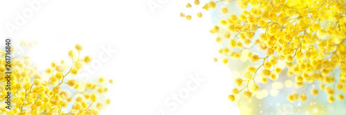 Fototapeta spring composition with Mimosa flowers. Mimosa on white background, concept of spring season. symbol of 8 March, happy women's day. copy space. long banner obraz