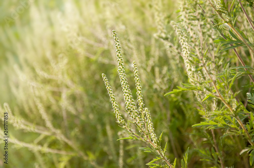 Canvas Print Young branch ambrosia blooming in the field