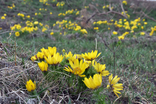 Photo Adonis vernalis grows in the wild