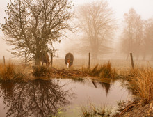 Two Horses Grazing In Morning Mist With Reflection Of A Tree In A Pond To The Foreground