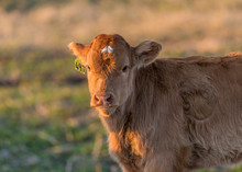 Angus Cattle Grazing In Evening Sunlight.