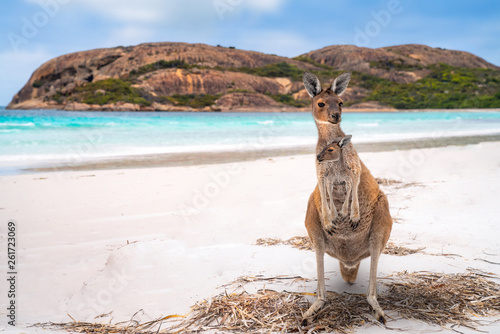 Spoed Foto op Canvas Kangoeroe Kangaroo family in Lucky bay