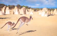 Kanggaroo Family Jump In Pinnacles Rock Park In Nambung Desert