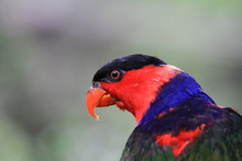 Parrot Black Capped Lory . Wil...