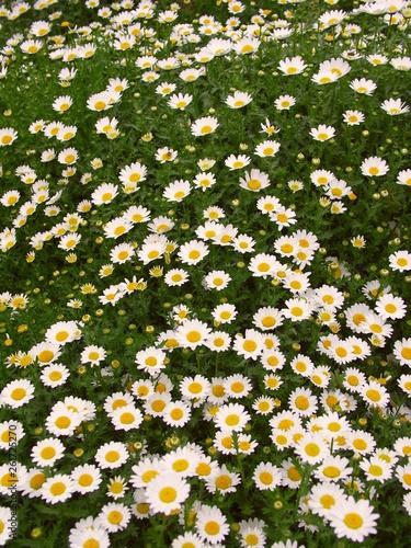 Fotografie, Obraz  花壇のノースポール