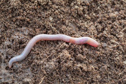 Fototapeta Earthworm in soil - closeup shot - Image obraz