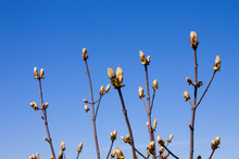 Chestnut Bud Tree On The Clear...