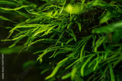 Stampa su Tela Aquarium algae, elements of flora in the aquarium