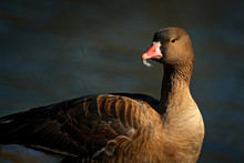 Greater White-fronted Goose, A...