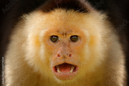 Foto op Aluminium Aap Close-up detail of monkey face. White-headed Capuchin, black monkey sitting on tree branch in the dark tropical forest. Wildlife of Costa Rica. Travel holiday in Central America.