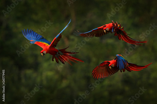 Obraz Macaw parrot flying in dark green vegetation with beautiful back light and rain. Scarlet Macaw, Ara macao, in tropical forest, Costa Rica. Wildlife scene from tropical nature. Red in forest. - fototapety do salonu