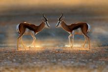 Springbok Antelope, Antidorcas...