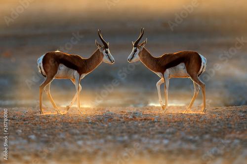 Springbok antelope, Antidorcas marsupialis, in the African dry habitat, Etocha NP, Namibia Fototapete