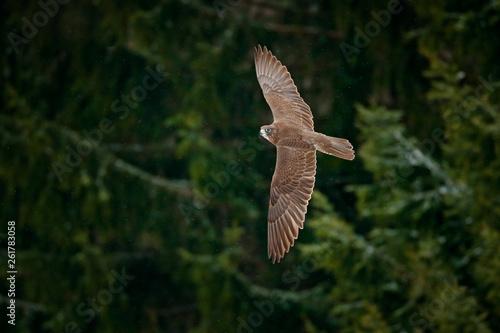 Bird Of Prey With White Head 2